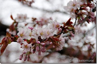 幌萌の大桜