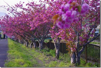 鷲別川沿いの桜
