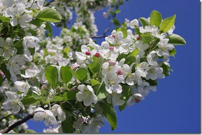 ★クリックで拡大「姫リンゴの花」:K20D/DA 16-45mm F4 ED AL