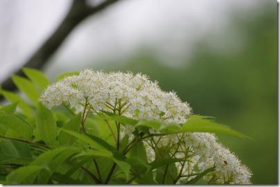 ★クリックで拡大「ナナカマドの花」:K20D/DA 50-200mm F4-5.6ED WR